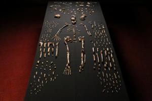 Homo naledi. cc John Hawks Wits University